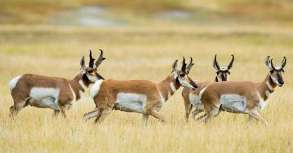 Pronghorn on the move.