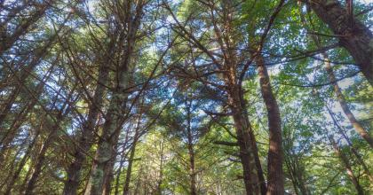 Forest canopy; mostly white pines.