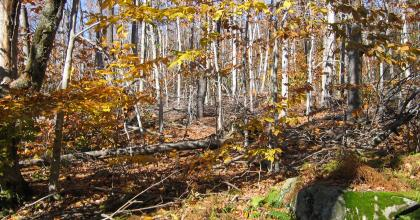 A hardwood forest in fall with fall colors