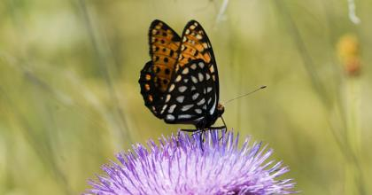 A regal fritillary butterfly perched on a flower