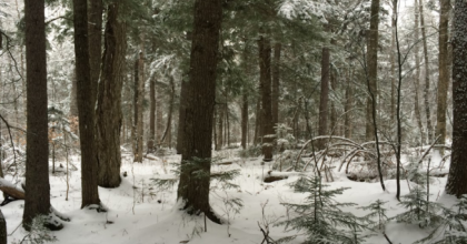 A hemlock forest with light snowfall
