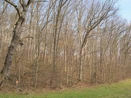 Typical stand of saw log size white oak in southeastern Ohio; photo by Richard Widmann, U.S. Forest Service