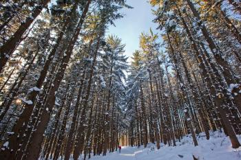 Tall spruce trees planted in rows, with snow on trees