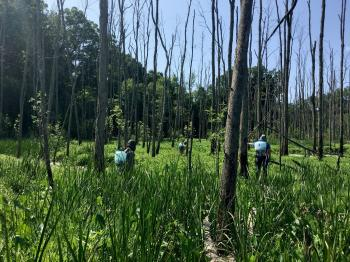 Managers doing invasive species treatment in a floodplain forest