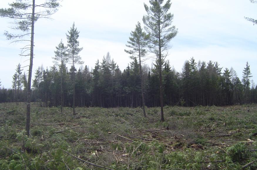 A lowland conifer stand after harvest, with white pine leave trees and a reserve island.