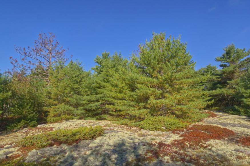 exposed bedrock with white pine forest in background