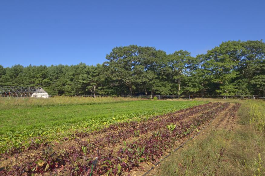 Fields (now growing organic certified vegetables) and large field grown northern red oaks in background