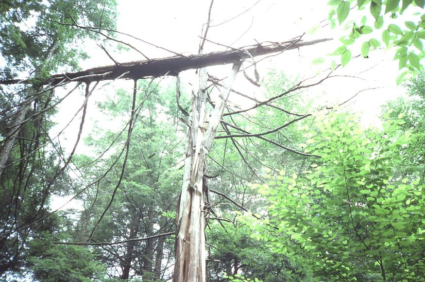a dead tree standing in the forest