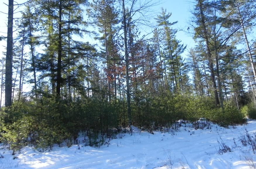 Vigorous white pine regeneration on Warren's property.