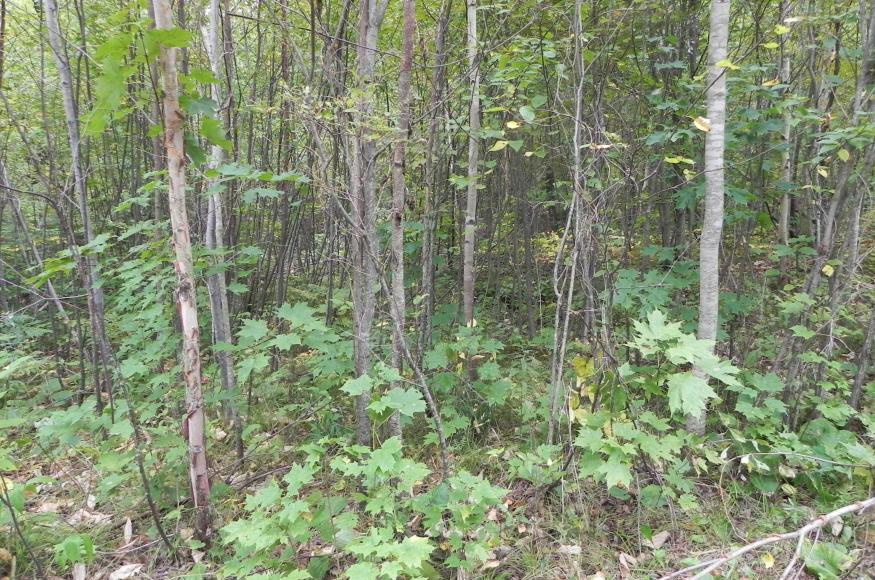 An area of dense hardwood regeneration before thinning.