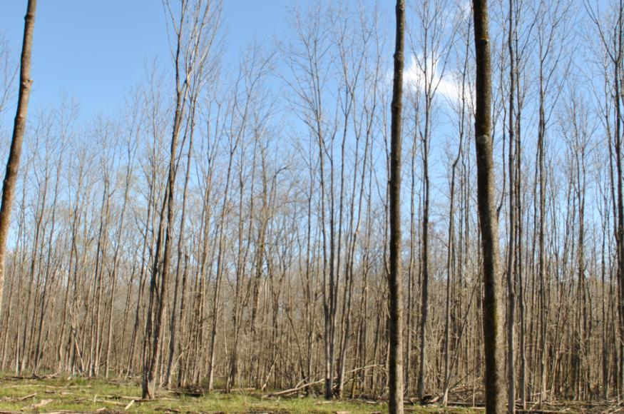 A wet bottomland hardwood stand with an open canopy