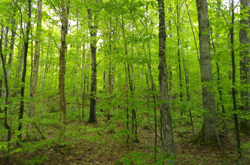 A northern hardwood forest