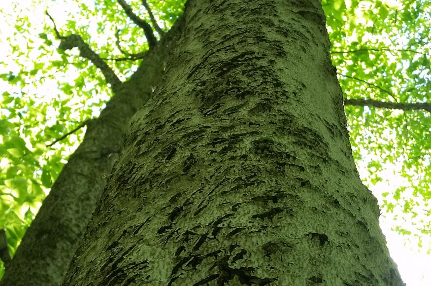 A close up showing the rough bark of a beech tree.