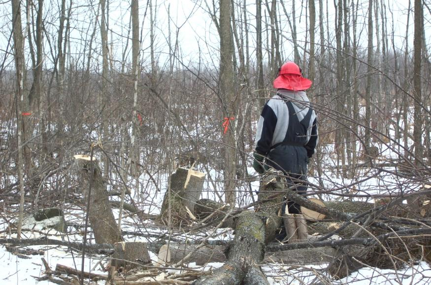 worker cutting ash trees in winter