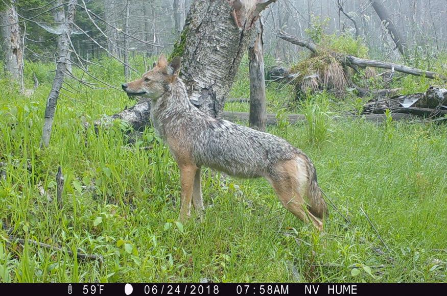 A coyote standing in a wet forest area.