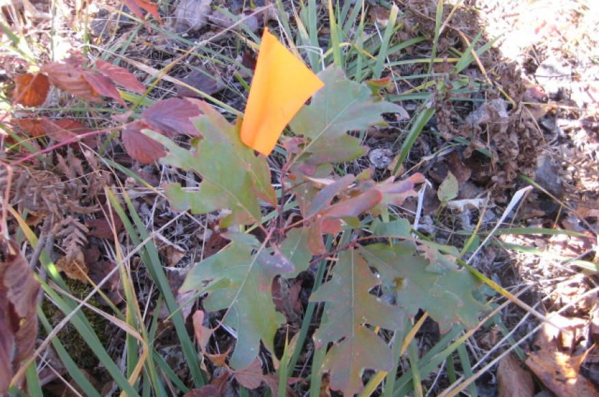 A planted white oak seedling on the Nelson's property.