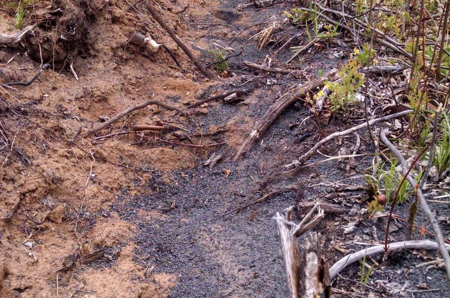 Wood ash spread along the planting trench.