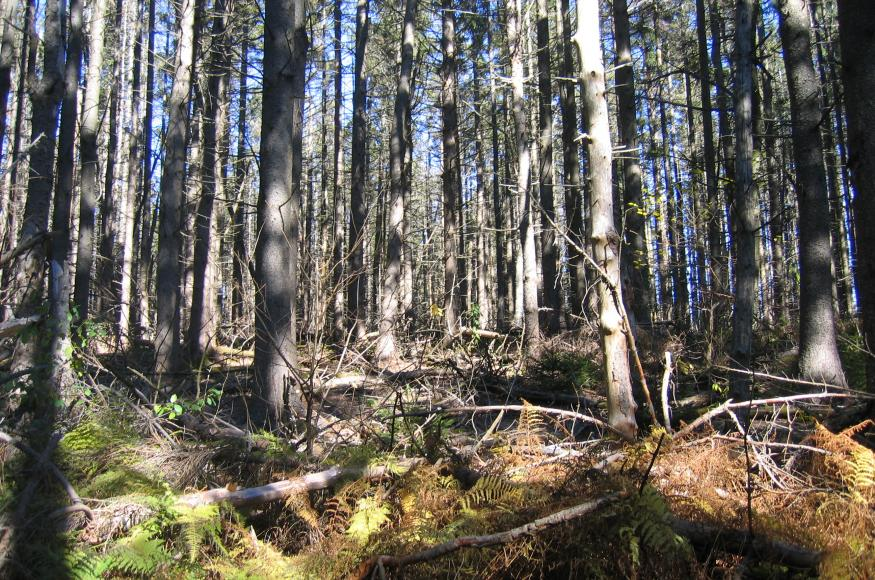 A forest of mid-sized conifer trees, growing densly