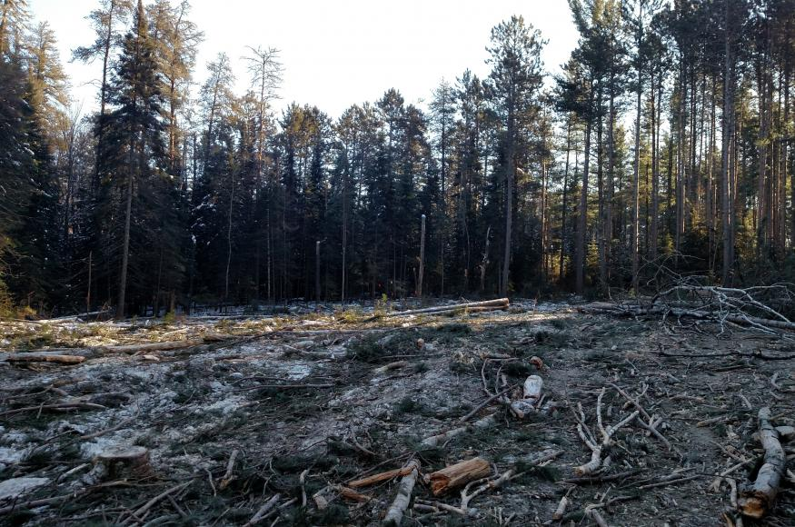 The half-acre gap on the north side of the stand after it had been cut and before any of the matrix had been treated. When possible, gaps were placed next to canopy white pines, a couple of which are visible on the right-hand side of the image, to encourage natural regeneration. No slash treatments were specified in the prescription, though full-tree skidding was required. Photo by Kyle Gill, CFC.