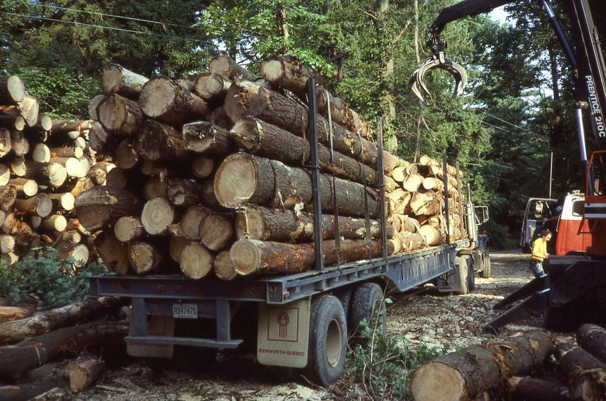 A log truck is loaded with recently cut wood in the forest.