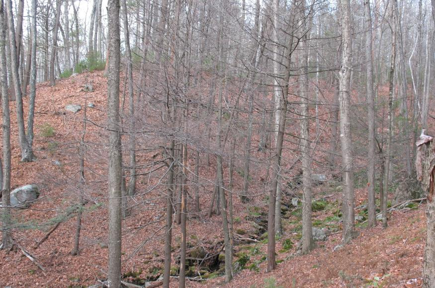 A forest understory with several small dead hemlock trees.