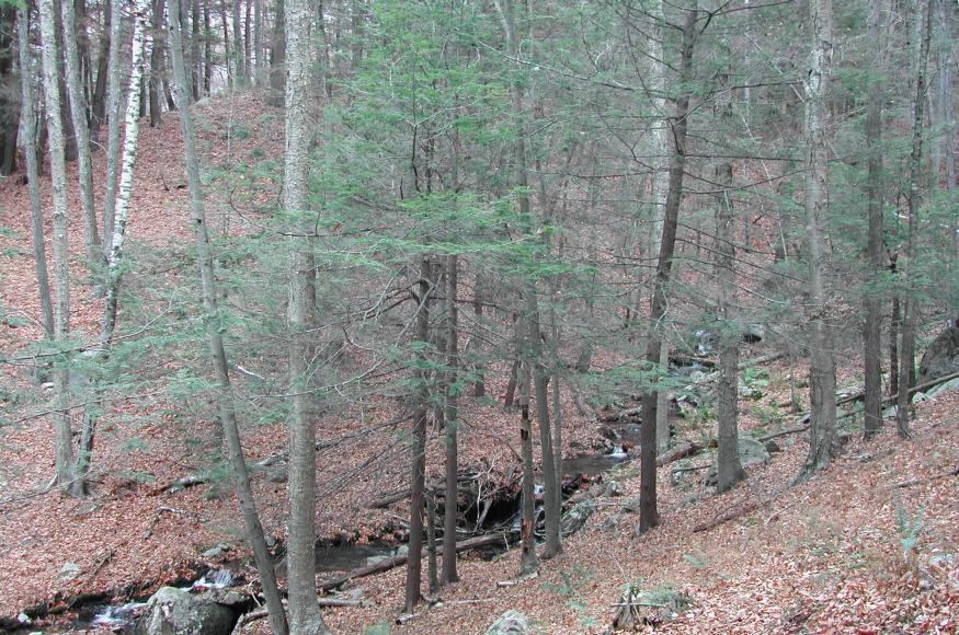 A forest understory with several small live hemlock trees.