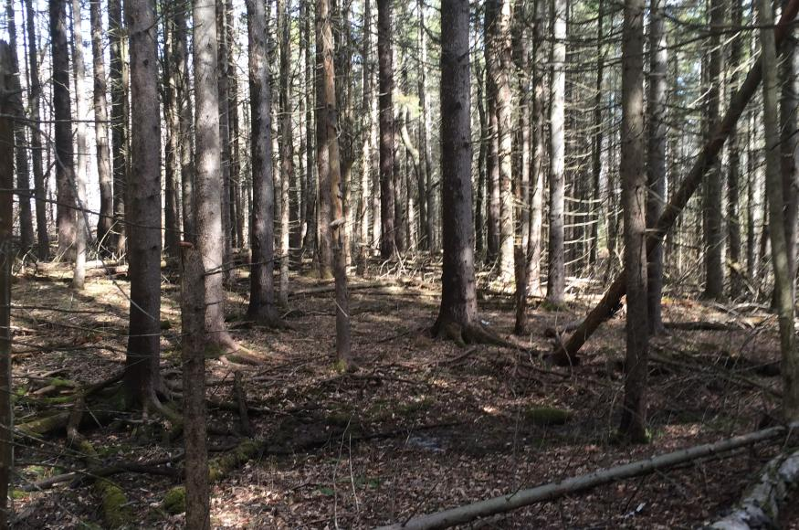 Norway spruce plantation forest