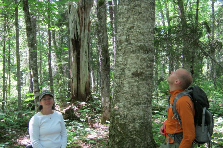 People standing in woods next to large yellow birch.