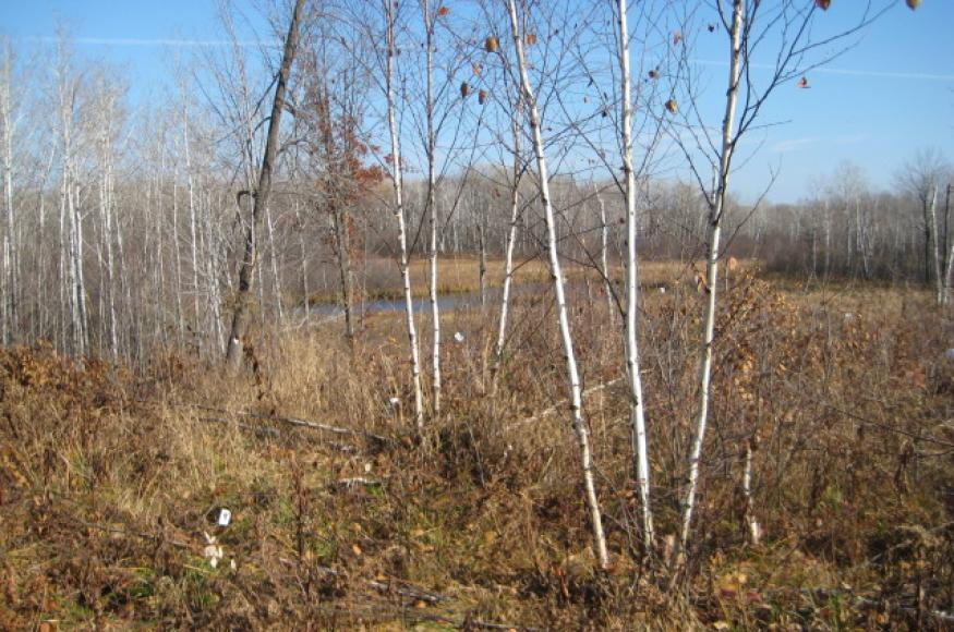 Paper birch stump sprouts that were thinned by hand in fall 2015.